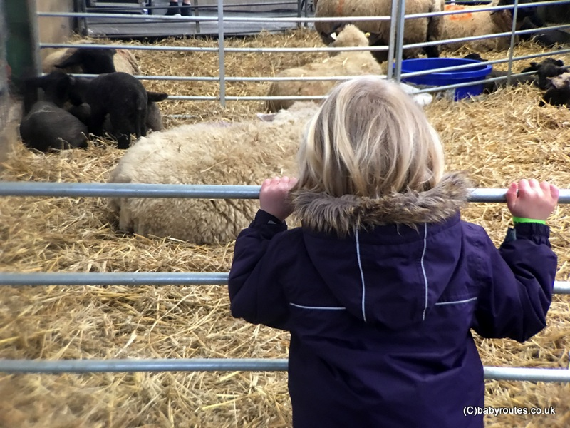 Watching the lambs and sheep, Lambing Weekend, Earth Trust